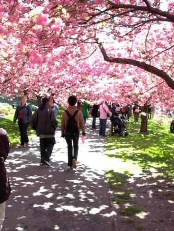 cherry-blossom-festival-056